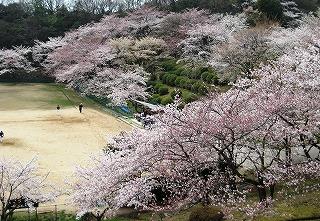北山貯水池の桜